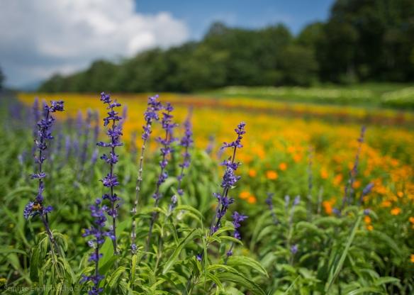 Tanbara Lavendar Flowers